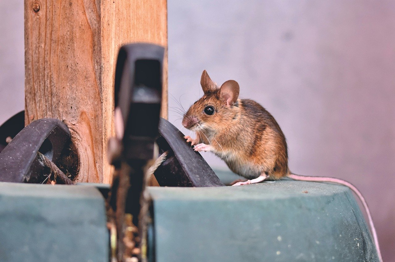 house mouse, mouse, long tailed mouse